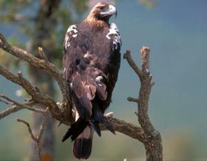 Aguila_imperial_iberica
